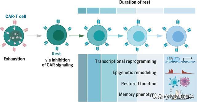 抗癌百条冷知识(一):化疗早上做效果更好;免疫细胞也需要休息
