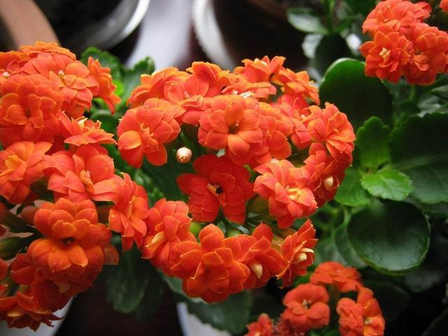 长寿花养护要郑重,偏重好这几点,长寿花才能花团簇锦