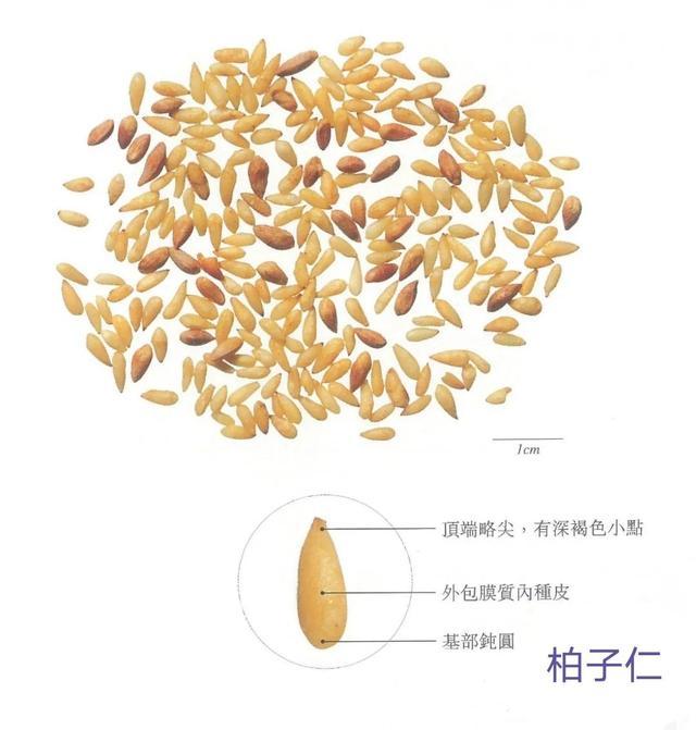 中藥古今研究:柏子仁