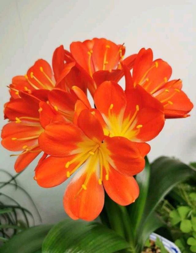 """这样养""""君子兰"""",叶子更多更大更油绿,花朵红似火"""