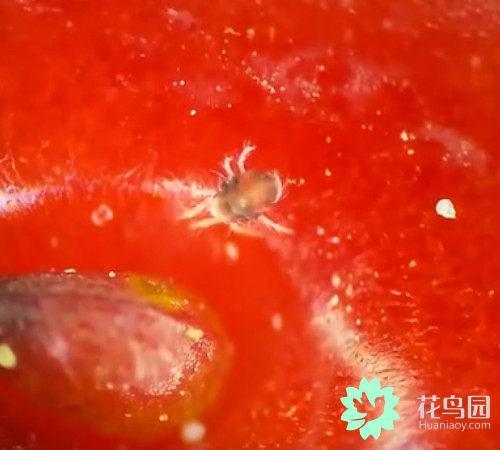 须眉把奇怪的草莓放在显微镜下观观察犹疑,效率有了惊人的发现