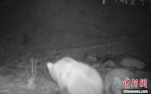 """新疆山区红外线相机拍摄到棕熊和野猪""""和谐""""进食画面"""