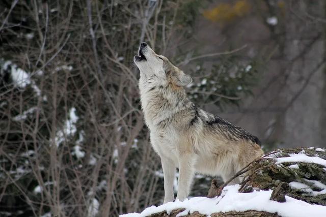 豆瓣8分《狼的颖悟》:1幼我与狼为伴25年后的所思所想
