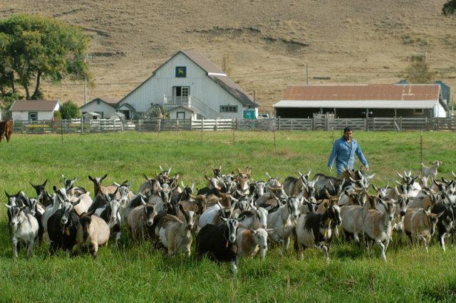 """澳洲上演""""人羊地盘战"""",百万野山羊吃不完,为何不出口到中国?"""