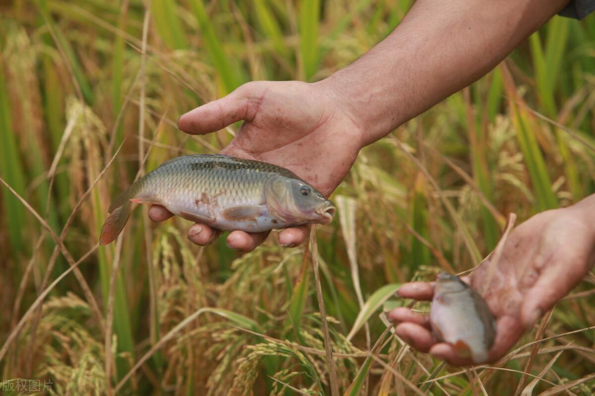 """曾盛极一时的稻田养鱼,有人年赚600万,为何今天""""人人喊打""""?"""