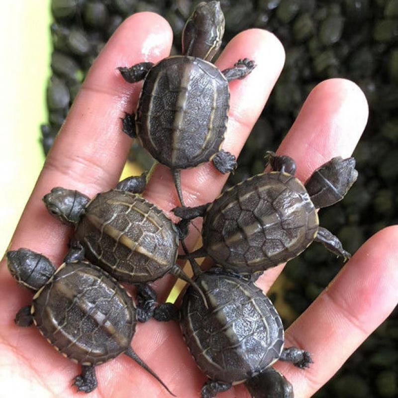 硬币大小的龟苗怎么养?草龟新手饲养指南,草龟饲养方法注意事项