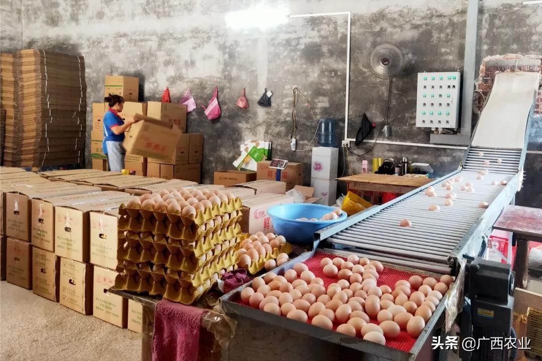 兴业县石南镇六联村:养殖蛋鸡创新路 特色产业助力乡村振兴